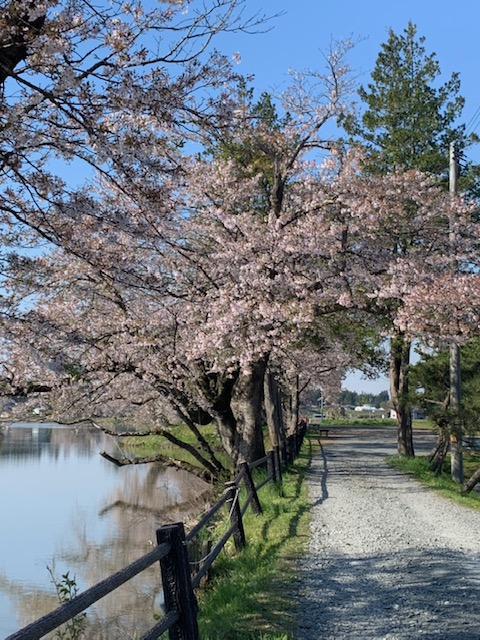 4.22-1(葉桜)