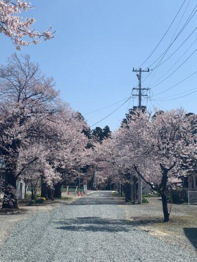 4.12南面の桜2