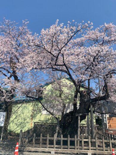 4.12南面の桜3 満開!