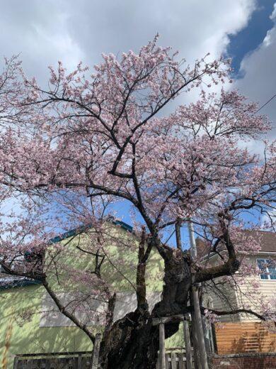 4.9南面の桜